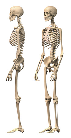 Anatomy of male human skeleton, side view and perspective view.