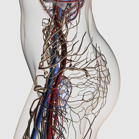 Ilustración Médica De Arterias, Venas Y Sistema Linfático En Las ...