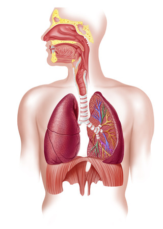 chest cavity: Cutaway diagram of human respiratory system, including nasal and mouth cross section. LANG_EVOIMAGES