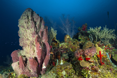 living organism: Coral reef and sponges, Belize.