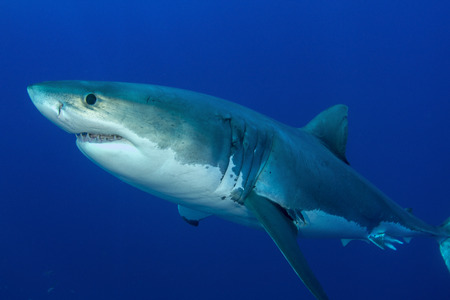 guadalupe island: Male great white shark, Guadalupe Island, Mexico.