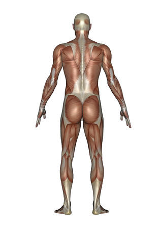 Anatomy of male muscular system, back view.