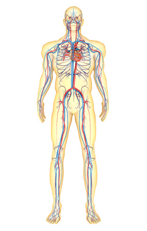 vena: Anatomy of human body and circulatory system, front view.