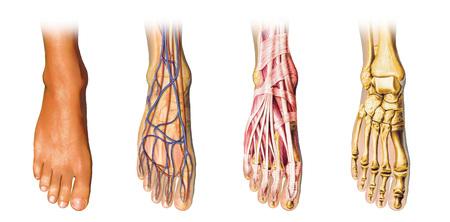 Human foot anatomy showing skin, veins, arteries, muscles, and bones, cutaway view.