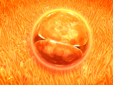 gamete: Embryo development 24-36 hours after fertilization.