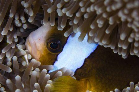 percula: Anemonefish in an anemone, Australia. LANG_EVOIMAGES
