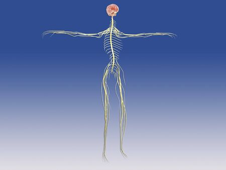 median: Central nervous system with human brain.