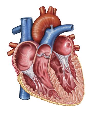 Interior of human heart.