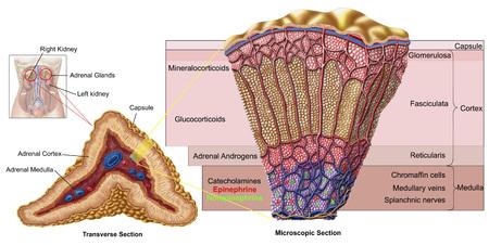 suprarrenales: Anatomía de la glándula suprarrenal, sección transversal. LANG_EVOIMAGES