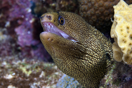 Close-up view of a Goldentail Moray Eel, Bonaire, Caribbean Netherlands. LANG_EVOIMAGES
