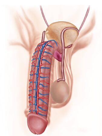 Anatomía De Los órganos Reproductivos Masculinos. Fotos, Retratos ...