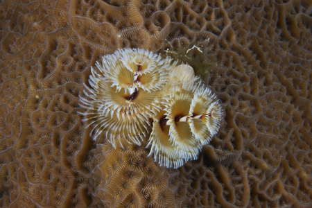 hard coral: Christmas Tree Worm in hard coral, Bonaire, Caribbean Netherlands. LANG_EVOIMAGES