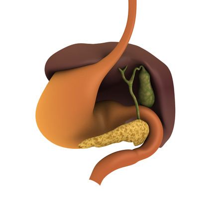 glandular: Conceptual image of human digestive system showing gallbladder, pancrease, stomach and liver.