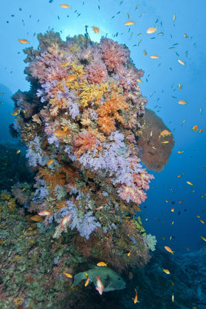 Colourful reef with purple yellow pink soft coral and orange anthias fish, Ari and Male Atoll, Maldives.
