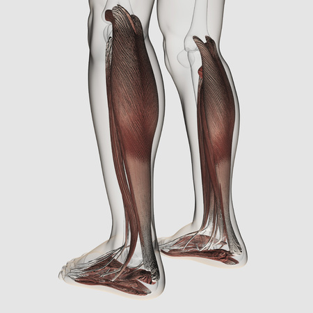 Male muscle anatomy of the human legs, anterior view. LANG_EVOIMAGES