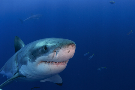 guadalupe island: Great white shark smiling for camera, Guadalupe Island, Mexico. LANG_EVOIMAGES