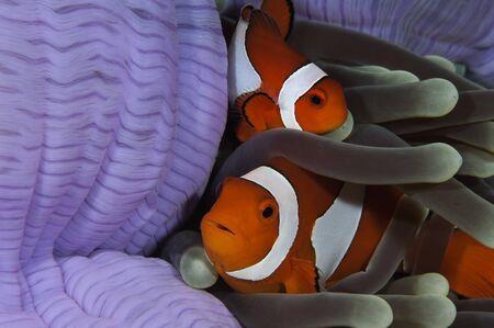 percula: Pair of Clown Anemonefish, Indonesia.