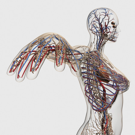 Medical illustration of arteries, veins and lymphatic system with heart. Profile view of female chest area.