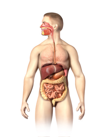 Anatomy Of Male Digestive System Including The Mouth Cutaway