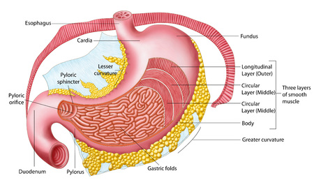 sphincter: Anatomy of the human stomach. LANG_EVOIMAGES