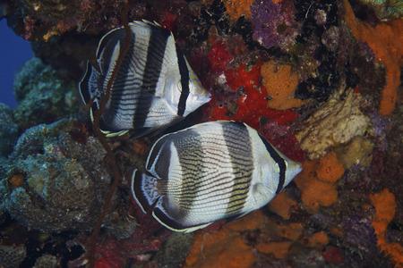 butterflyfish: Banded Butterflyfish, Bonaire, Caribbean Netherlands. LANG_EVOIMAGES