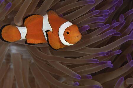 percula: Clownfish in purple tip anemone, Australia.