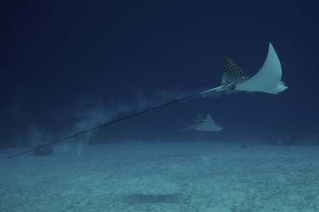 narinari: Spotted Eagle Rays glide effortlessly through the water, Bonaire, Caribbean Netherlands.