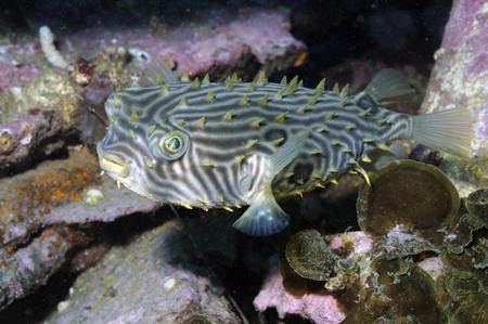 Burrfish in Atlantic Ocean.