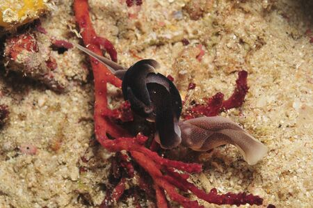sea slug: Several Swallowtail headshield slugs nudibranch (Chelidonura amoena) coiled over a red coral, Indonesia.