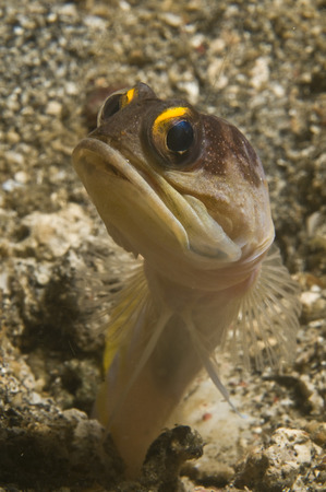 Gold-speck jawfish pouting, Lembeh Strait, Bitung, North Sulawesi, Indonesia.