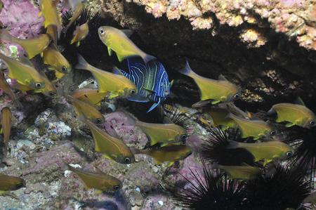 ichthyology: Angelfish and cardinalfish under a rocky ledge, Byron Bay, Australia.