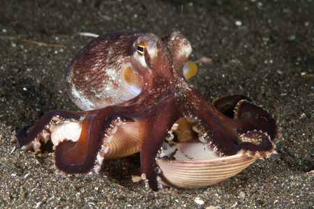 Coconut octopus (Amphioctopus marginatus) carrying a clam shell, Lembeh Strait, North Sulawesi, Indonesia. LANG_EVOIMAGES