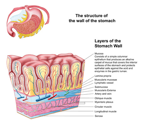 epithelial: Anatomy of the structure and layers of the stomach wall.