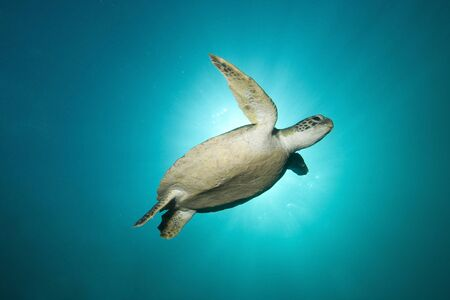 Green turtle swimming with sunburst behind it, New South Wales, Australia.