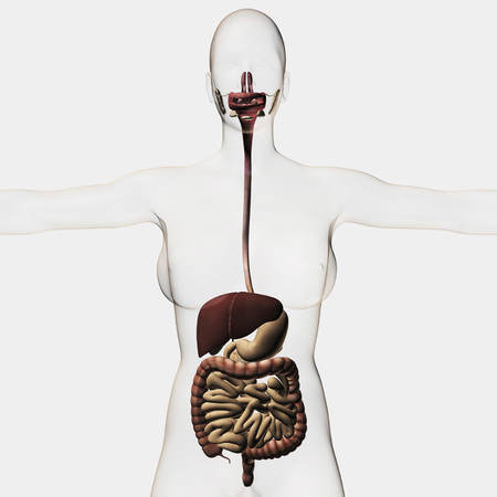 descending colon: Medical illustration of the human digestive system, three dimensional view.