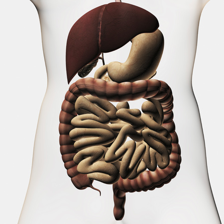 descending colon: Medical illustration showing the human digestive system: liver, stomach, large intestine, small intestine.
