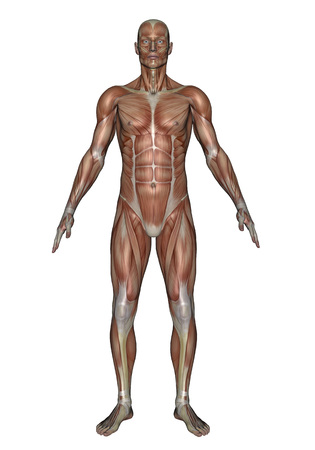 Anatomy of male muscular system, front view. LANG_EVOIMAGES
