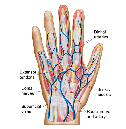 phalanges: Anatomy of back of human hand.