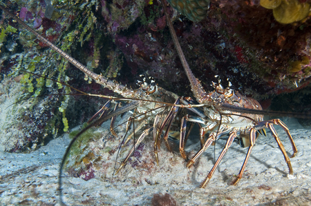 Pair of Spiny Caribbean lobsters under overhang.
