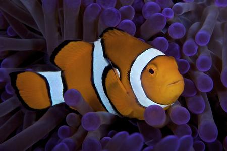 percula: False Ocellaris Clownfish in its host anemone, Papua New Guinea.