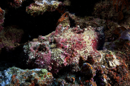 stonefish: Deadly south pacific stonefish is beautifully camouflaged in the reef, Fiji. LANG_EVOIMAGES