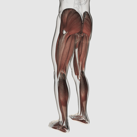 Male muscle anatomy of the human legs, posterior view.