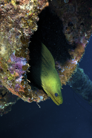 bonaire: A large Green Moray eel within the Hilma Hooker shipwreck, Bonaire, Caribbean Netherlands.