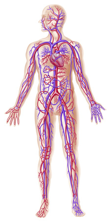 Anatomy of human circulatory system.