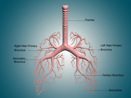 Digital illustration showing the structure of the bronchus and bronchial tubes. These pathways carry air into the lungs and carbon dioxide out