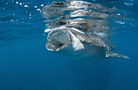 cartilaginous: Whale shark feeding off coast of Isla Mujeres, Mexico. LANG_EVOIMAGES