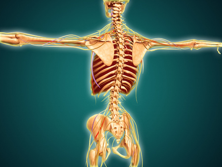 sacral spine: Back view of human skeleton with nervous system, arteries and veins.