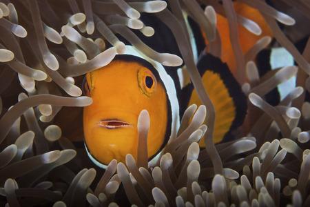 Percula Clownfish in its host anemone, Papua New Guinea.