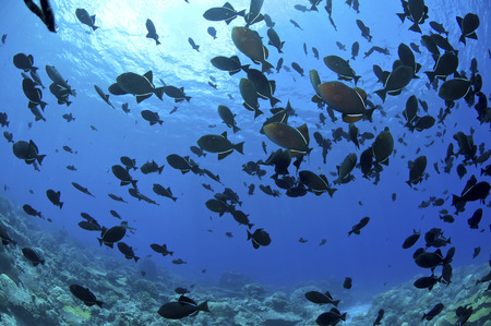 triggerfish: School of black Indian Ocean triggerfish, Christmas Island, Australia. LANG_EVOIMAGES