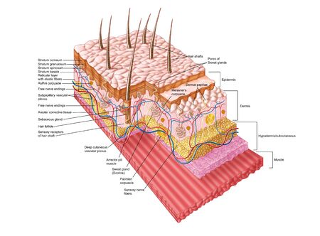 neurons: Anatomy of the human skin.